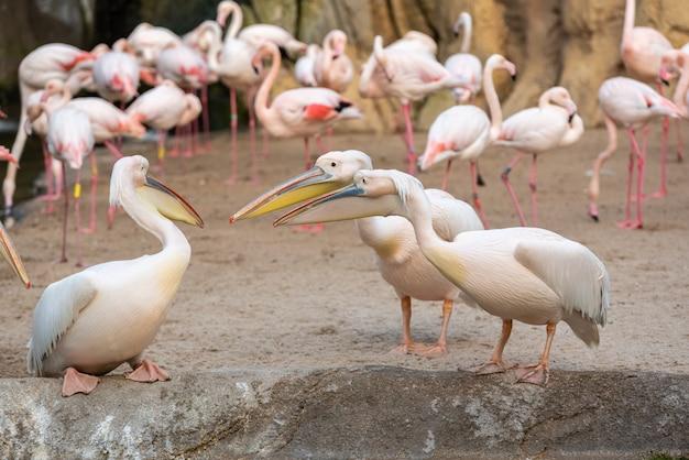 Gruppo di pellicani comuni, pelecanus onocrotalus, discutendo tra loro con fenicotteri in background.