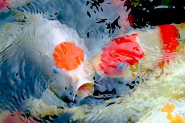 Gruppo di pesci koi bocca aperta, pesce carpa attesa per il cibo, alimentazione