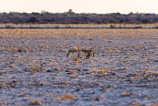 Gruppo di sciacalli col dorso nero sulla pentola del deserto al tramonto. parco nazionale di etosha, la principale destinazione di viaggio in namibia, africa.