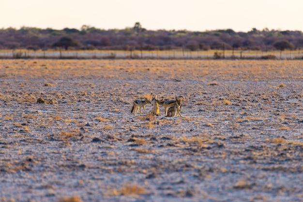 Gruppo di sciacalli col dorso nero sulla pentola del deserto al tramonto. parco nazionale di etosha.