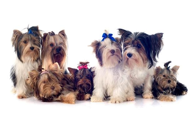Gruppo di yorkshire terrier