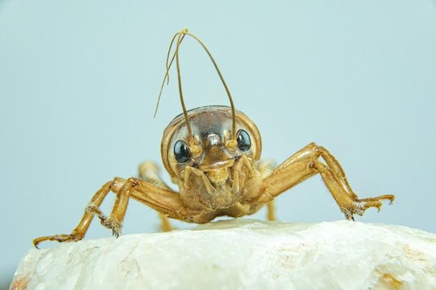 Gryllidae o cricket close-up