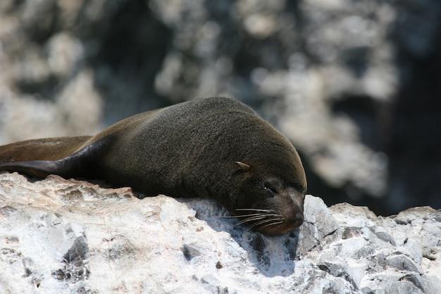 Guarnizione di pelliccia sudamericana che dorme sulla roccia costiera