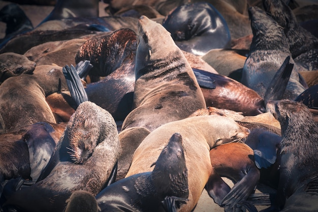 Guarnizioni su un'isola della guarnizione della baia di hout a cape town, sudafrica
