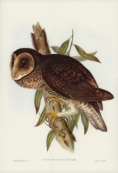 Gufo fuligginoso (Strix tenebricosus, Gould) illustrato da Elizabeth Gould