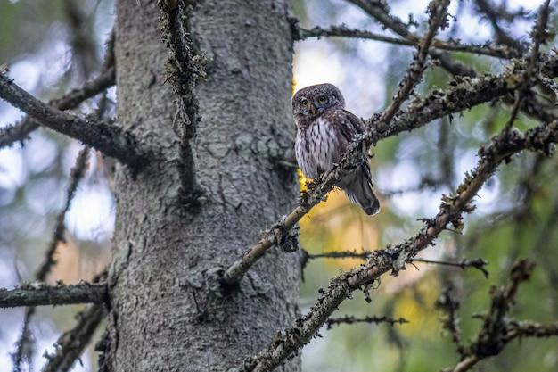 Gufo pigmeo seduto sul ramo di un albero
