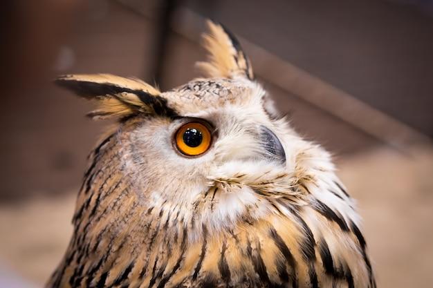 Gufo reale dell'uccello del fronte di manifestazione del primo piano animale