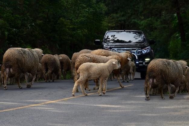 Guidare attraverso un gregge di pecore