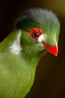 Guinea turaco - tauraco persa