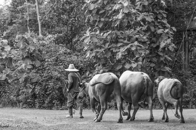 Guinzaglio contadino buffalo foto in bianco e nero