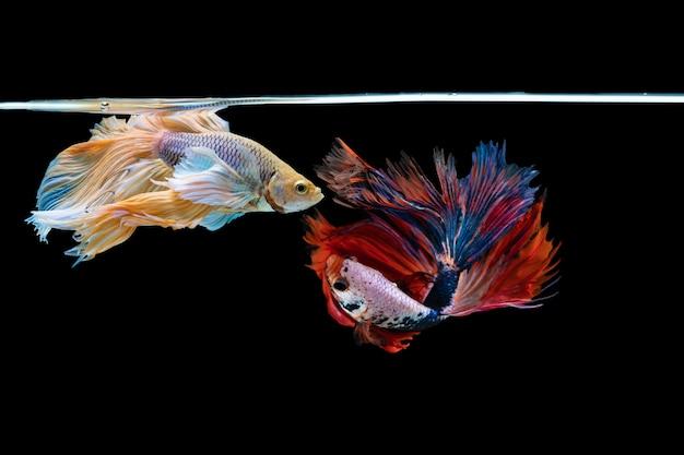 Halfmoon betta bel pesce. cattura il momento commovente bello del pesce siam betta