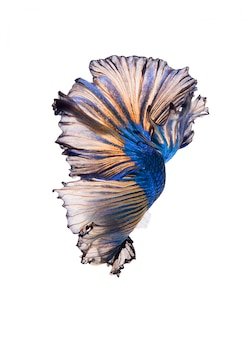 Halfmoon fancy betta fish
