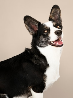 Happy cardigan welsh corgi cane