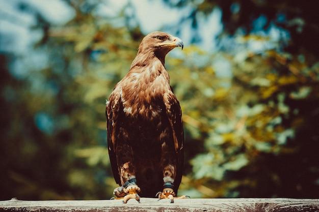 Harris's buzzard
