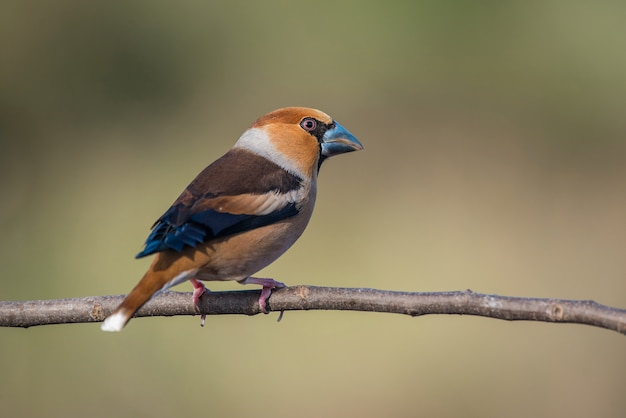 Hawfinch, coccothraustes coccothraustes