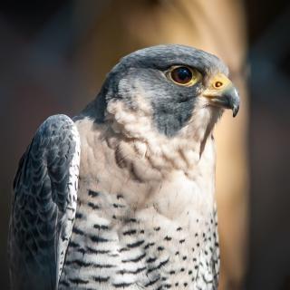 Hawk animale rapace