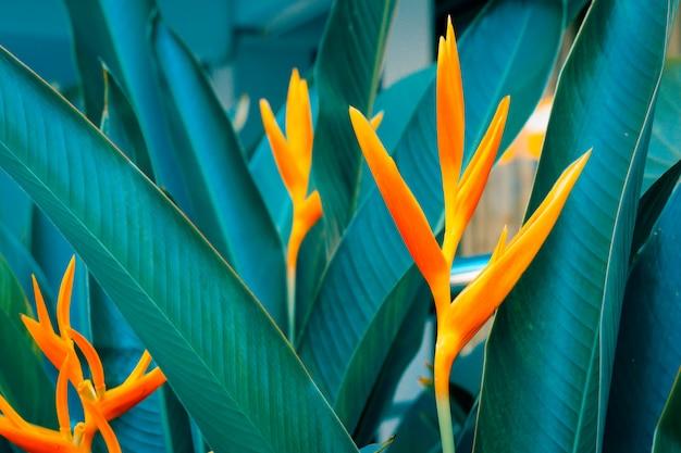 Heliconia psittacorum o fiori di torcia dorata con foglie verdi.