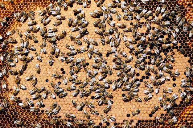Honey bees in hive close up