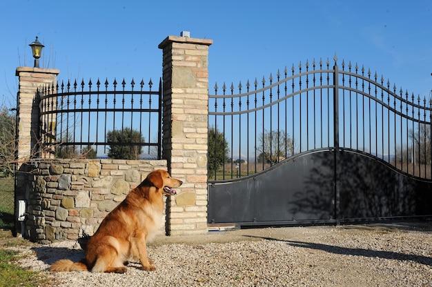 Hovawart dog sorveglia il cancello d'ingresso.