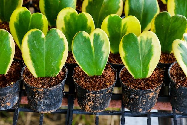 Hoya kerrii craib in vaso di fiori