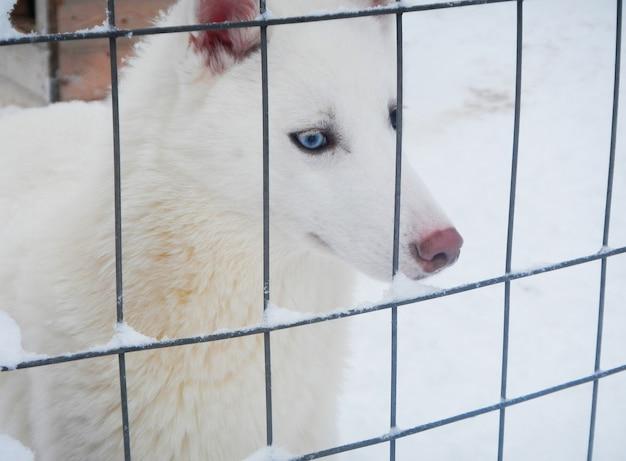 Husky bianco su neve in inverno, lapponia, finlandia