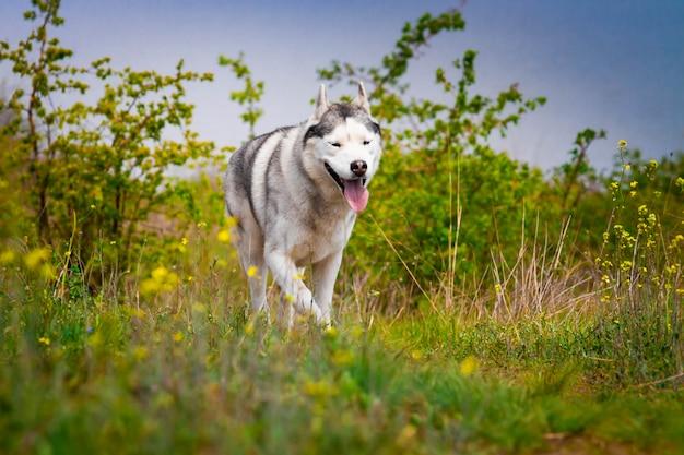 Husky corre attraverso l'erba. avvicinamento. il cane cammina nella natura. passeggiate attive con il cane.