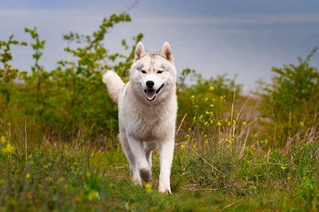 Husky corre attraverso l'erba. avvicinamento. il cane cammina nella natura. siberian husky corre verso la telecamera. passeggiate attive con il cane.