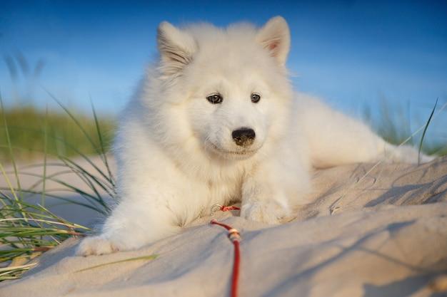 Husky samoiedo del cucciolo bianco che si siede su una coperta