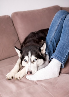 Husky si rilassa sul divano