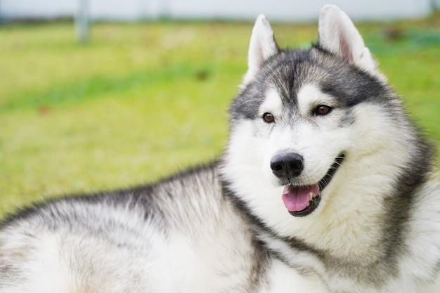 Husky siberiano che mette su erba verde in chiaro giorno