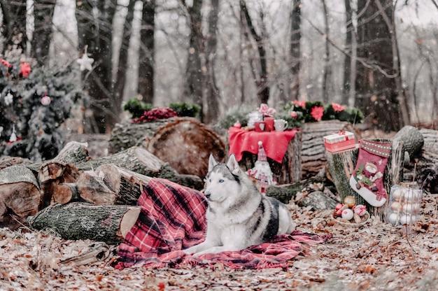 Husky siberiano sveglio con la corona di natale sul collo che si siede su una coperta rossa. decorazioni natalizie su backgound. neve.