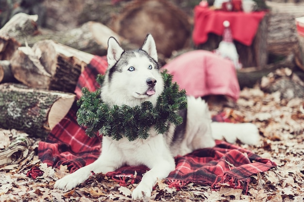 Husky siberiano sveglio con la corona di natale sul collo che si siede su una coperta rossa. decorazioni natalizie su backgound.