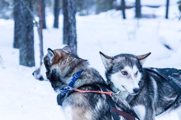 Husky slittino durante una pausa da una spedizione nella neve