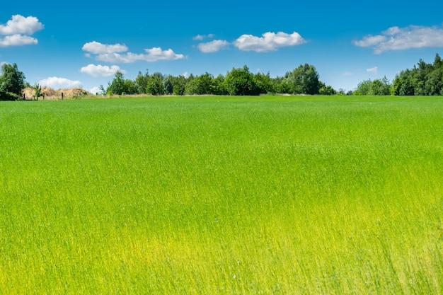 I bei campi di lino della vegetazione pittoresca con cielo blu e le nuvole bianche.