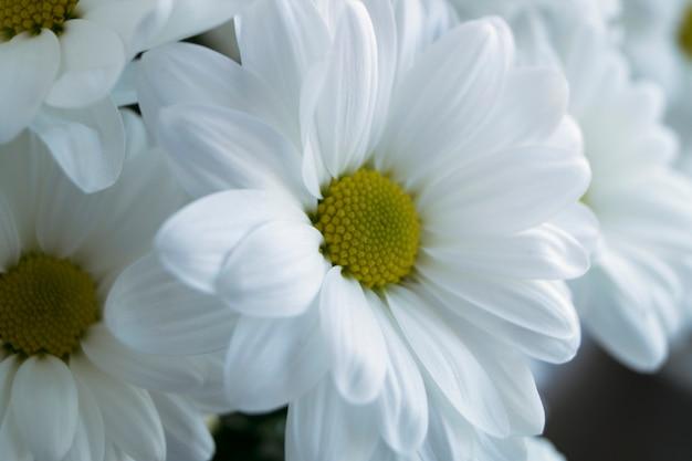 I bei crisantemi di fioritura bianchi si chiudono su