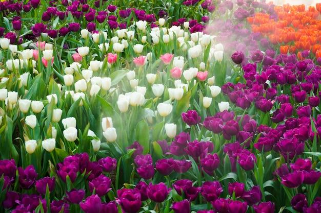 I bei tulipani in fiore in giardino. fine del fiore dei tulipani su nell'ambito di illuminazione naturale all'aperto