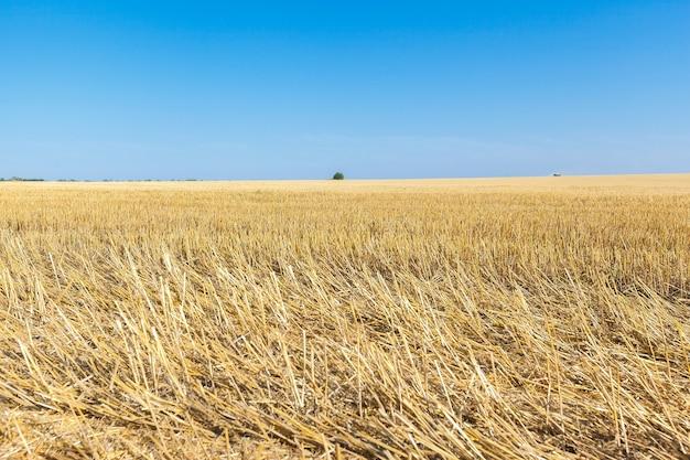 I campi di grano nella soleggiata giornata estiva
