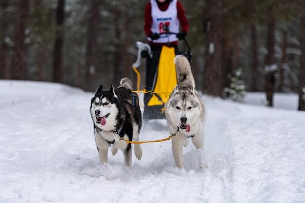 I cani da slitta trainati da cani da slitta corrono nell'imbracatura e tirano umani