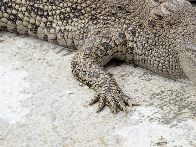 I coccodrilli del piede si chiudono su in tailandia