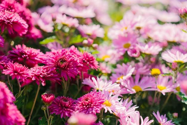 I crisantemi di autunno rosa e porpora fioriscono nel giardino