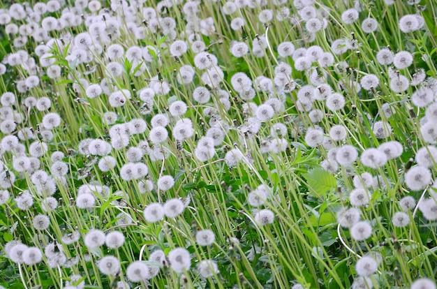 I denti di leone lanuginosi bianchi fioriscono nel campo verde, naturale