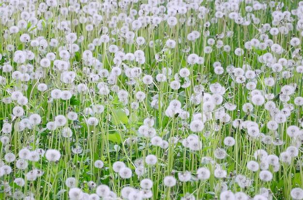 I denti di leone lanuginosi bianchi fioriscono nel campo verde, sfondo naturale
