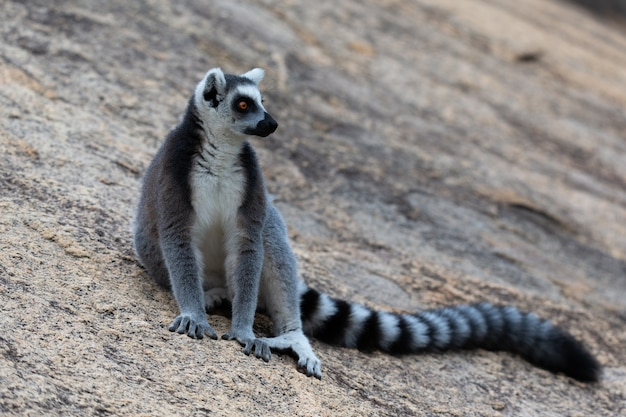 I divertenti lemuri dalla coda ad anelli nel loro ambiente naturale