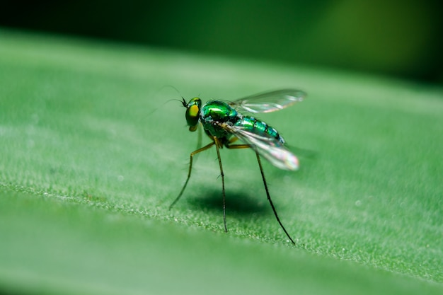 I dolichopodidi sulle foglie sono piccoli, di colore verde.