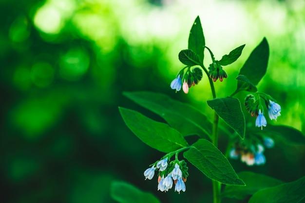 I fiori blu della consolida maggiore con le foglie verdi si sviluppano sul fondo del bokeh.