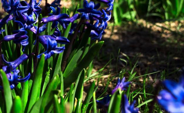 I fiori blu fioriscono in molla in anticipo nel giardino.