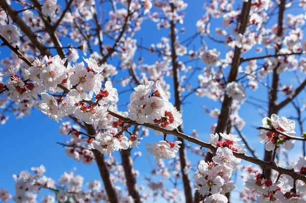 I fiori del mandorlo si chiudono su
