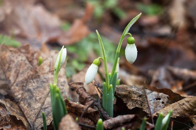 I fiori di bucaneve o bucaneve comuni (galanthus nivalis) crescono tra il fogliame secco.