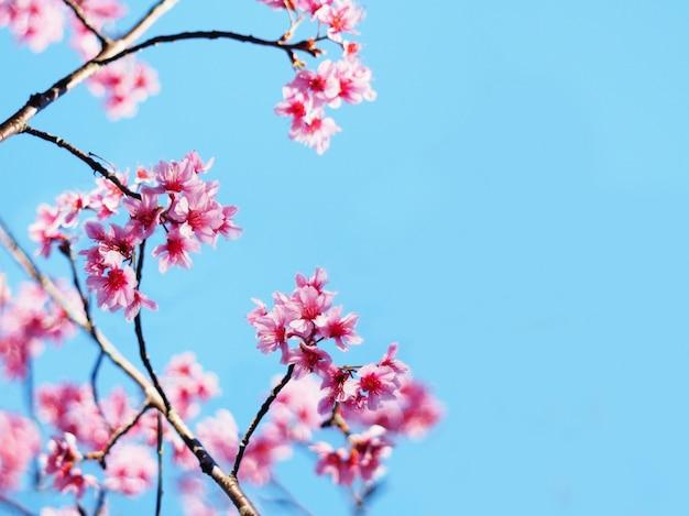 I fiori di ciliegia rosa fioriscono in piena fioritura, stagione primaverile.