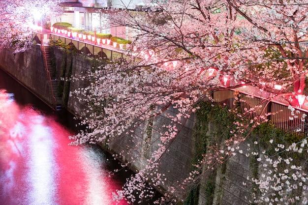 I fiori di ciliegio notturni si illuminano
